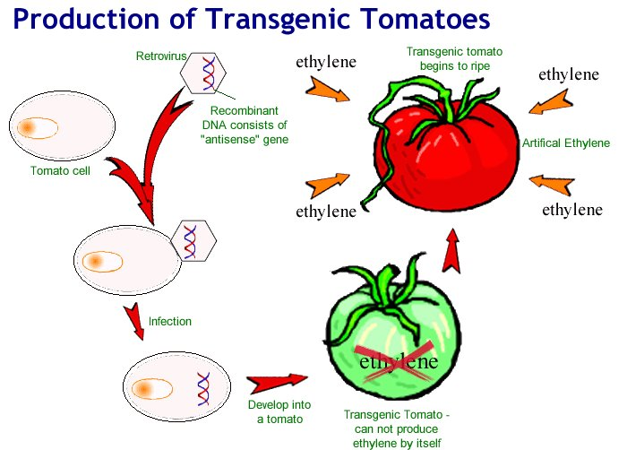 "transgenic organisms in the agricultural world The next method, used for the development of genetically engineered plants, is the ""agrobacterium"" method ()it involves the use of soil-dwelling bacteria, known as agrobacterium tumefaciensit has the ability to infect plant cells with a piece of its dna."