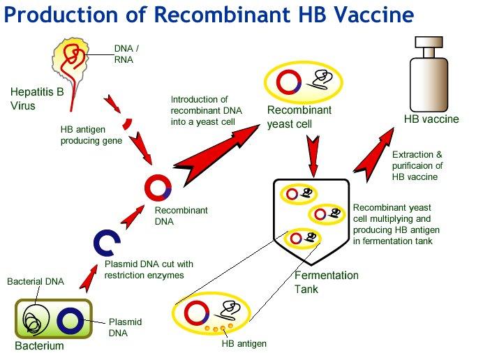 insulin bacteria